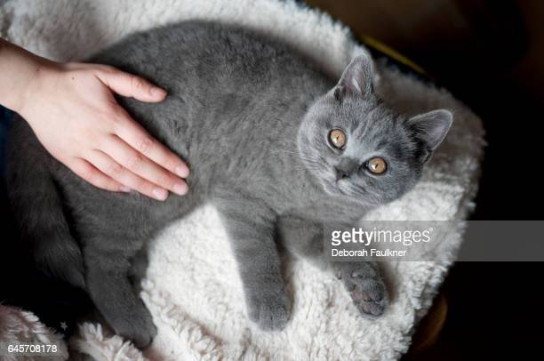 Grey kitten with hand stroking