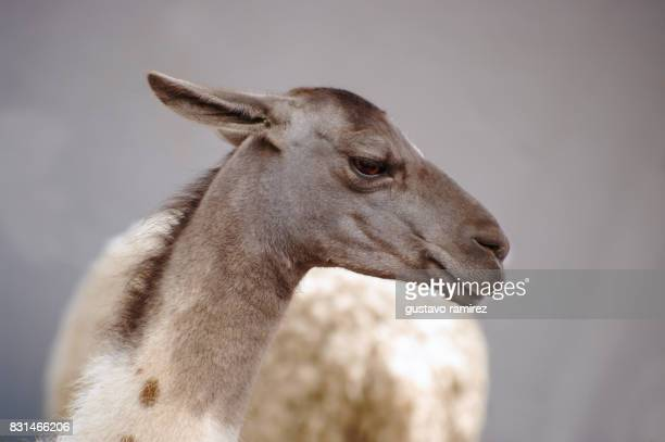 grey llama posing portrait - young animal stock pictures, royalty-free photos & images