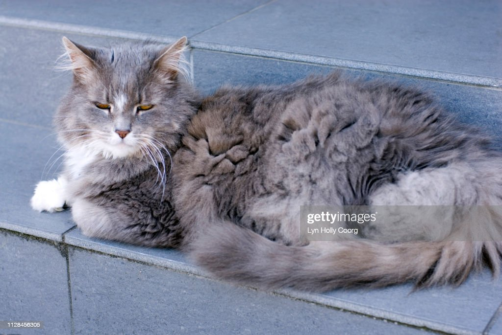 Grey long haired cat sitting on grey step : Stock Photo
