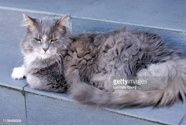 grey long haired cat sitting on grey step - lyn holly coorg photos et images de collection