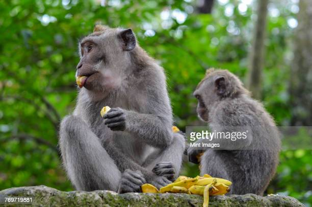 Grey long-tailed macaques, two animals eating fruit sitting on a wall.