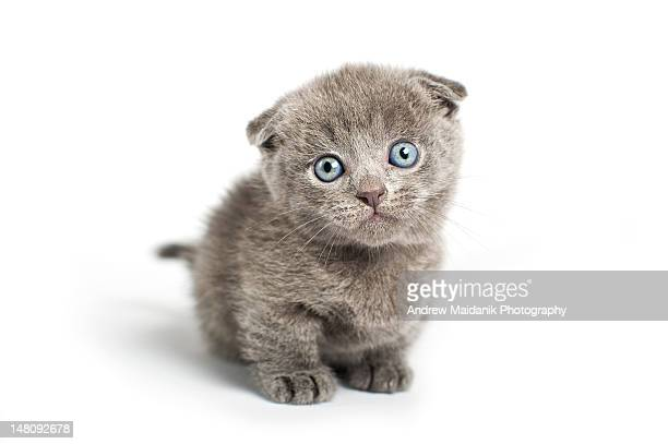 Grey lop-eared kitten