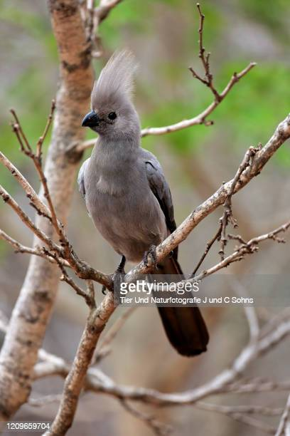 grey lourie, (corythaixoides concolor), adult on tree, kruger nationalpark, south africa, africa - nationalpark stock pictures, royalty-free photos & images