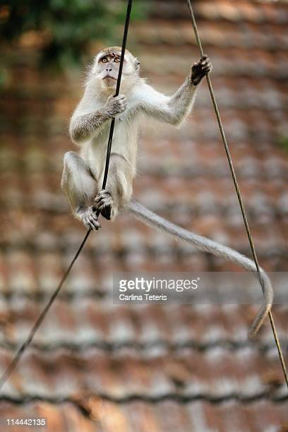 grey macaque on wire - taman negara national park stock photos and pictures