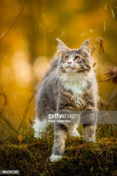 a grey maine coon on grass. - maine coon cat stock pictures, royalty-free photos & images