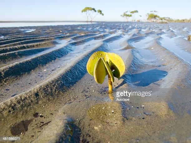 Grey mangrove Avicennia marina hypocotyl shoot from seed natural flotsam on an intertidal sandflat washed onto a sheltered sandbank near mangrove...