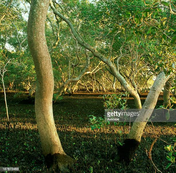 Grey mangrove pale stems contrast with the dark pneumatophorecarpetted forest floor in a closed tidal swamp forest with newly germinated seedlings in...