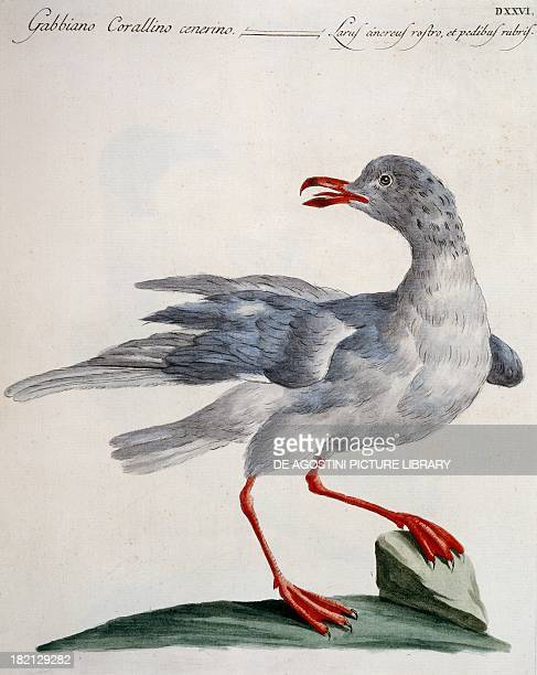 Grey Mediterranean Gull colour etching by Lorenzo Lorenzi and Violante Vanni from Natural History of Birds by Saverio Manetti Florence 17671776 Milan...