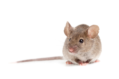 grey mouse isolated on white 147038185