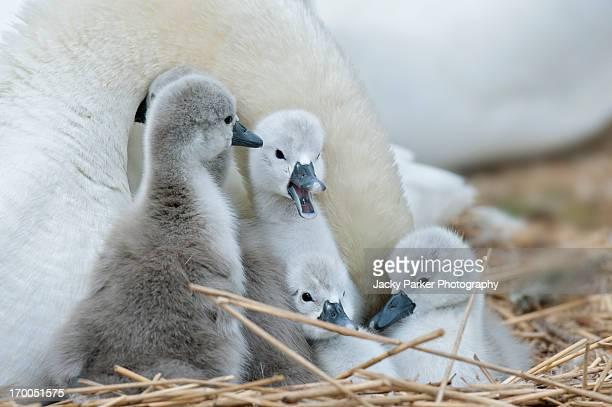 Grey mute swan cygnets