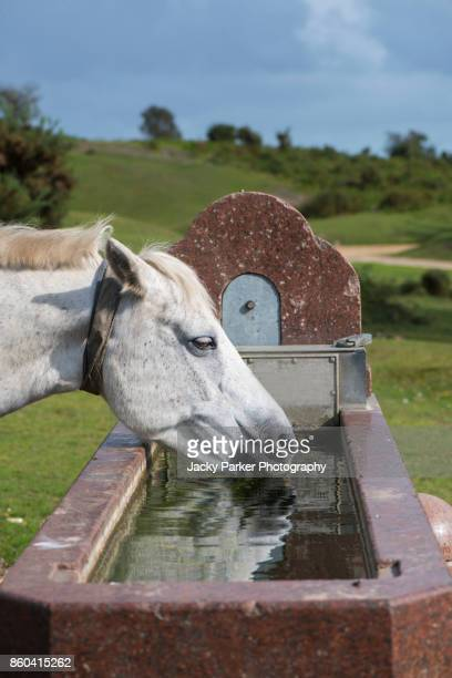 grey new forest pony drinking from a stone water trough near lyndhurst, new forest, hampshire,uk - lymington stock photos and pictures