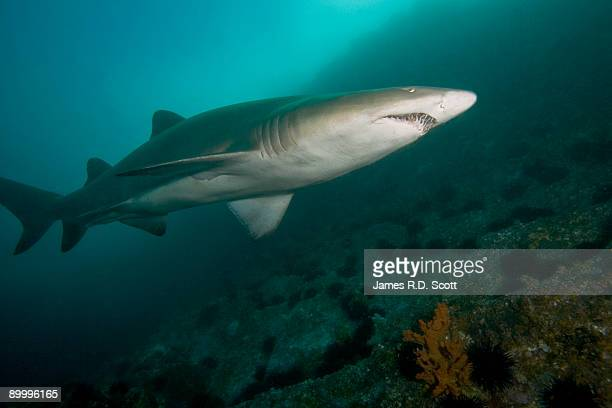 grey nurse shark  - nurse shark stock photos and pictures