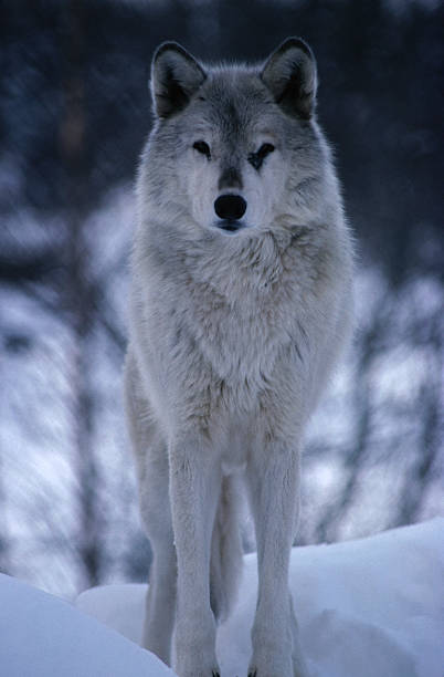Grey or Timber wolf (Canis lupus) in the Alaskan snow.