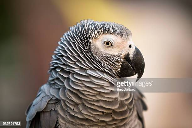 Grey Parrot Eyes Open