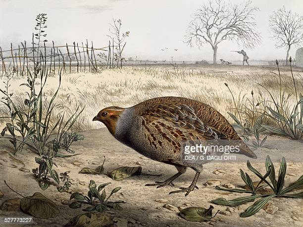 Grey Partridge coloured engraving by Edouard Travies France 19th century