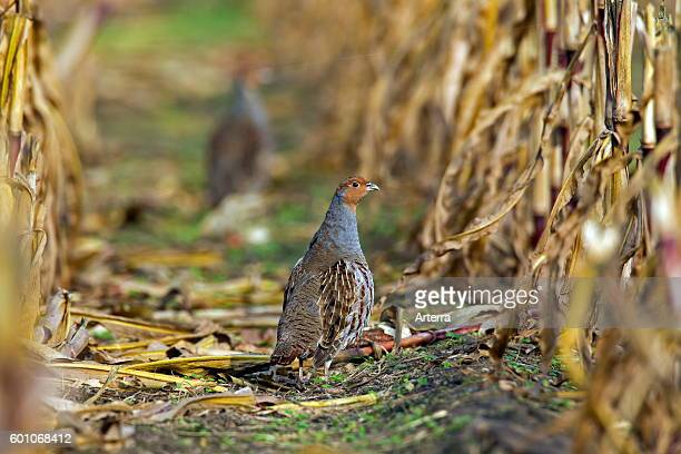 Grey partridge male foraging in maizefield in autumn