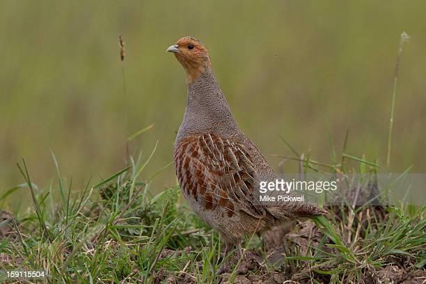 Grey Partridge - Perdix perdix