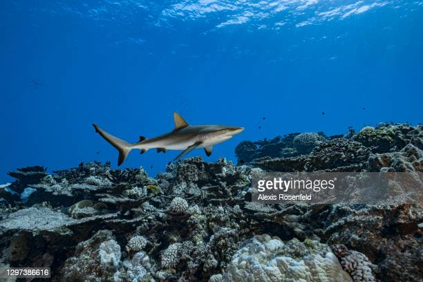 Grey reef shark is patrolling the coral reefs of Rikitea on February 19 Gambier Archipelago, French Polynesia, Pacific Ocean. Carcharhinus...