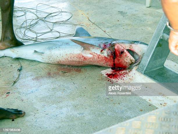 Grey reef shark lying dead on the deck of a boat has been caught for its fins on January 10 Madagascar, Mozambique Channel, Indian Ocean. The revenue...