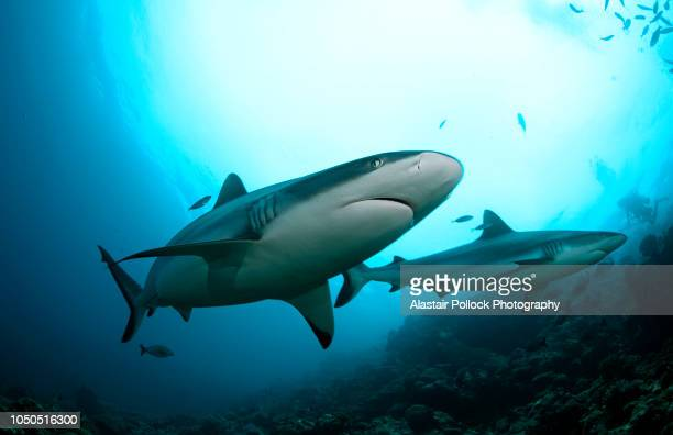 grey reef shark passes over - shark stock pictures, royalty-free photos & images
