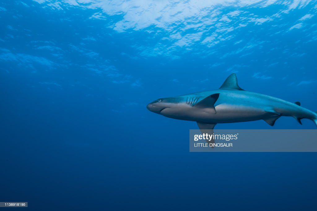 Grey Reef Shark Swimming In The Bright Shallow Water Stock