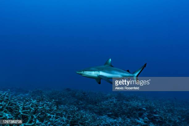 Grey reef shark swims in the Mayotte Marine Natural Park on November 29 Comoros Archipelago, Indian Ocean. Created in 2010, the Mayotte Marine...