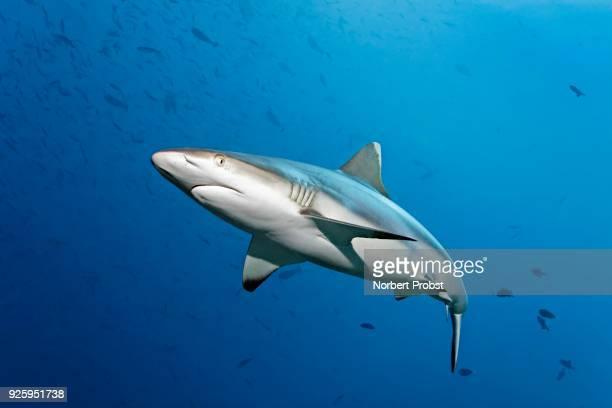 Grey reef shark (Carcharhinus amblyrhynchos) swims through shoal with red-toothed triggerfish (Odonus niger), Lhaviyani Atoll, Maldives