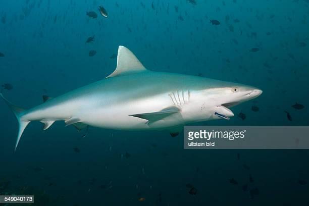 Grey Reef Shark with Cleaner Wrasse, Carcharhinus amblyrhynchos, Labroides dimidiatus, Hafsaa Thila, North Ari Atoll, Maldives