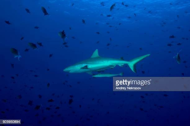 Grey reef shark (Carcharhinus amblyrhynchos) with school of fish red-toothed triggerfish (Odonus niger) in blue water, Indian Ocean, Maldives