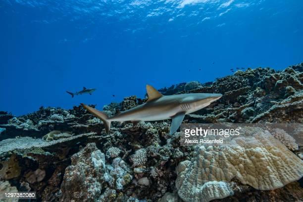 Grey reef sharks patrols the coral reefs of Rikitea on February 19 Gambier Archipelago, French Polynesia, Pacific Ocean. Carcharhinus amblyrhynchos...