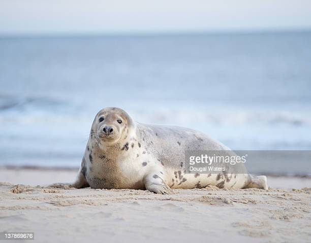 Grey seal at beach.