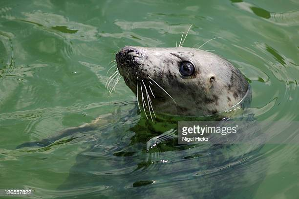 grey seal at the national seal sanctuary, gweek, nr helston, cornwall, great britain. - cornwall england stock pictures, royalty-free photos & images