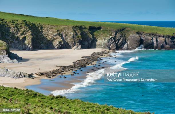 grey seal colony great blasket island. ireland. - great blasket island stock pictures, royalty-free photos & images