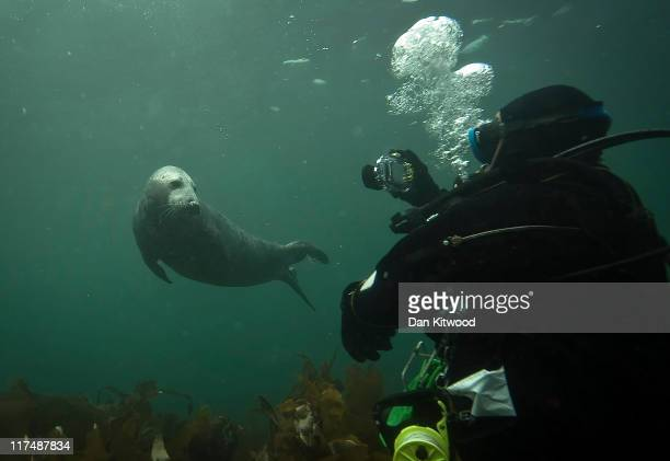 Grey Seal comes for a closer look at a group of divers on June 25, 2011 at the Farne Islands, England. The Farne Islands, which are run by the...