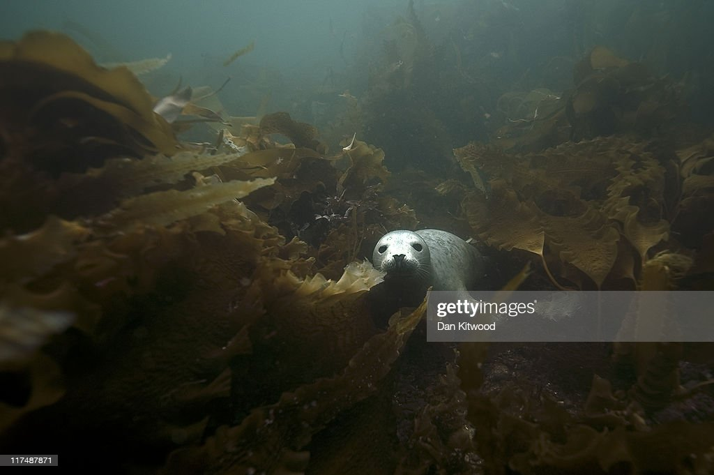 A Grey Seal comes for a closer look at a group of divers on June 25, 2011 at the Farne Islands, England. The Farne Islands, which are run by the National Trust, are situated two to three miles off the Northumberland coastline. The archipeligo of 16-28 separate islands (depending on the tide) make the summer home to approximately 100,000 pairs of breeding seabirds including around 36,000 Puffins, 32,000 Guillemots and 2,000 pairs of Arctic Terns. The species of birds which nest in internationally important numbers include Shag, Sandwich Tern and Arctic Tern. The coastline around The Farnes are also the breeding ground to one of Europe's largest Grey Seal colonies with around 4,000 adults giving birth to 1500 pups every year.