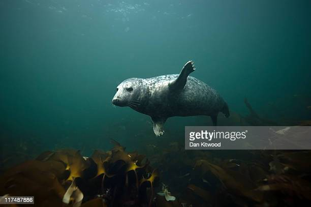 Grey Seal comes for a closer look at a group of divers on June 25 2011 at the Farne Islands England The Farne Islands which are run by the National...
