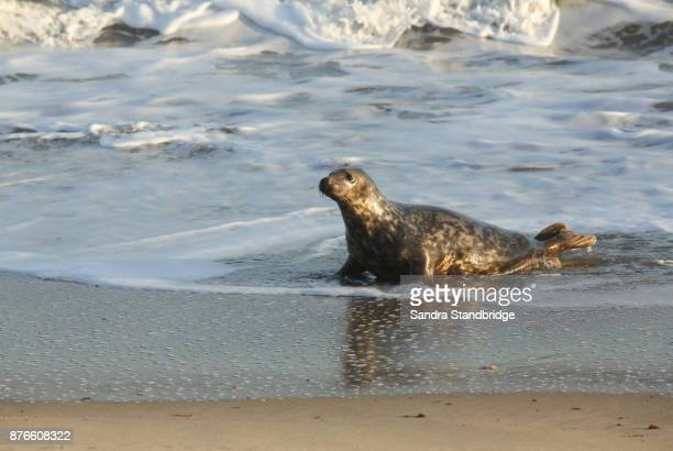 A Grey Seal (Halichoerus grypus) coming onto the beach from the sea at Horsey, Norfolk, UK.