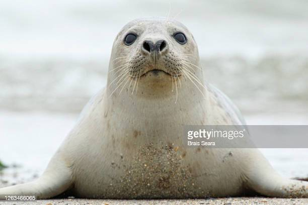 grey seal (halichoerus grypus) coming out of the water - biodiversity stock pictures, royalty-free photos & images