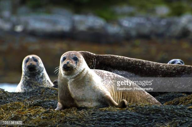 grey seal family at low tide on the rocks - wildlife stock pictures, royalty-free photos & images