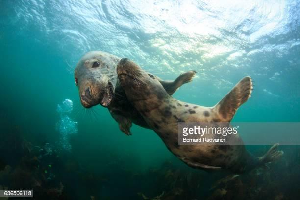 Grey Seal. Farne Islands. Northumberland. UK