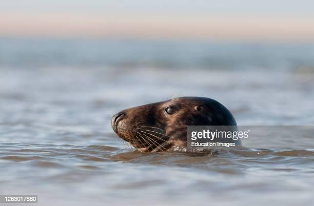 Grey Seal, Halichoerus grypus, Blakeney Point, Norfolk, UK.