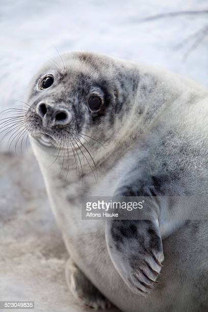 grey seal -halichoerus grypus-, helgoland dunes, schleswig-holstein, germany, europe - helgoland stock pictures, royalty-free photos & images