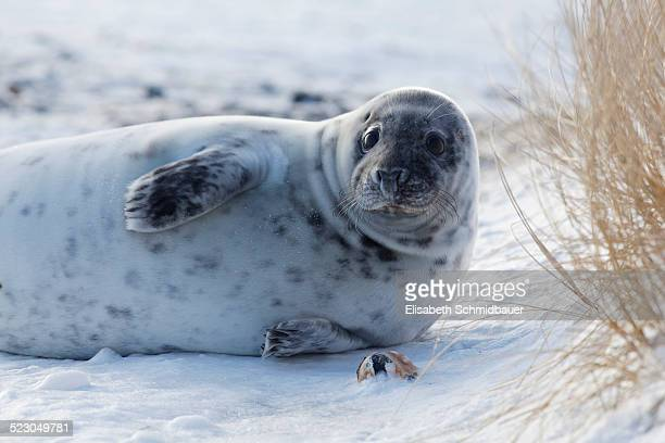 grey seal -halichoerus grypus-, helgoland, schleswig-holstein, germany, europe - helgoland stock pictures, royalty-free photos & images