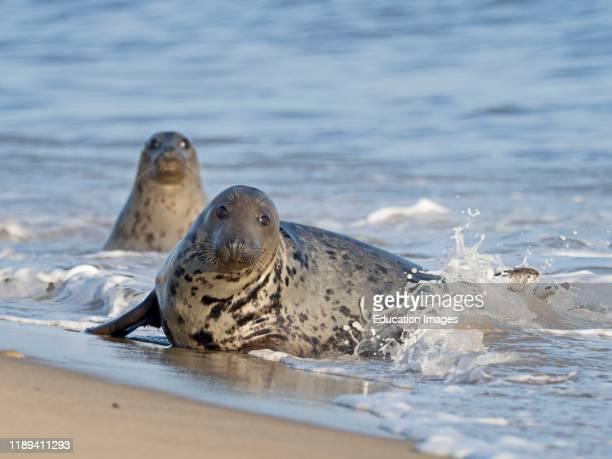 Grey Seal Halichoerus grypus in surf North Norfolk UK