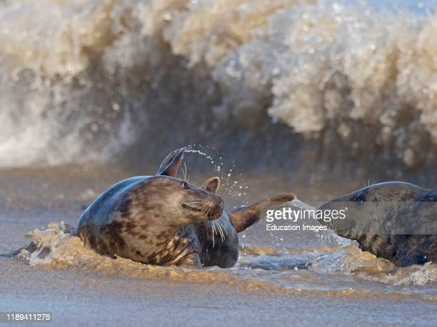 Grey Seal Halichoerus grypus male and female interacting in surf Horsey Norfolk