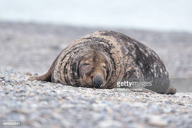Grey Seal -Halichoerus grypus-, male on the beach, Dune island, Helgoland, Schleswig-Holstein, Germany