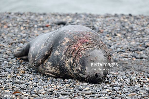 Grey Seal -Halichoerus grypus-, male on the beach, with wounds from territorial fights, Dune island, Helgoland, Schleswig-Holstein, Germany
