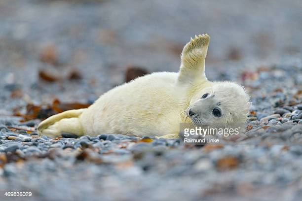 Grey Seal, Halichoerus grypus
