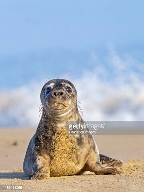 Grey Seal Halichoerus grypus pup Horsey Norfolk