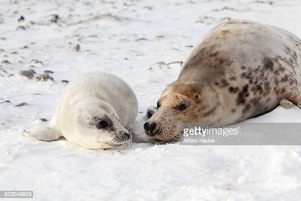 grey seal -halichoerus grypus- with a cub, helgoland dunes, schleswig-holstein, germany, europe - helgoland stock pictures, royalty-free photos & images
